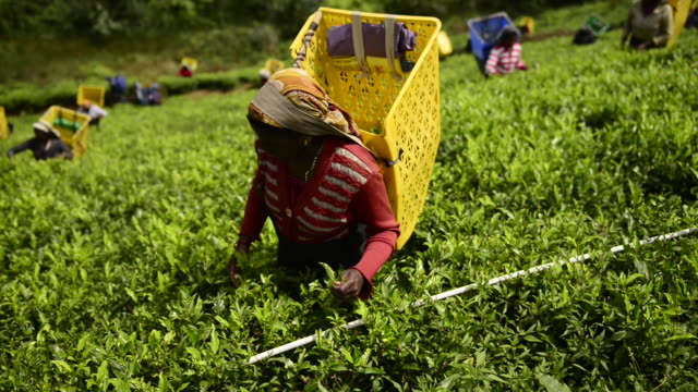 woman is picking tea in nuwara eliya - human rights stock videos and b-roll footage