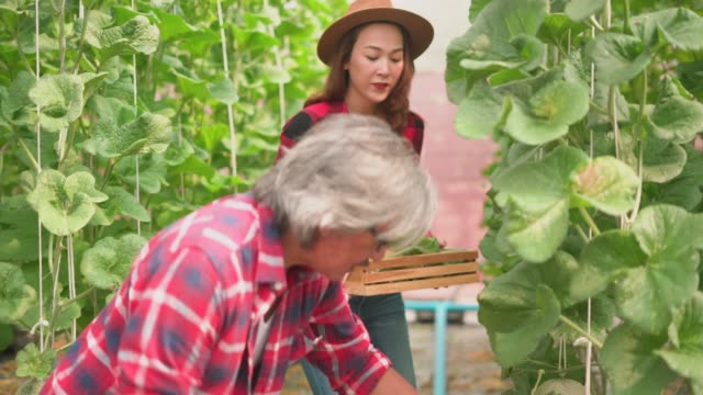 woman looking at male farmer harvesting the ripe cantaloupe in the farm - gardening equipment stock videos & royalty-free footage