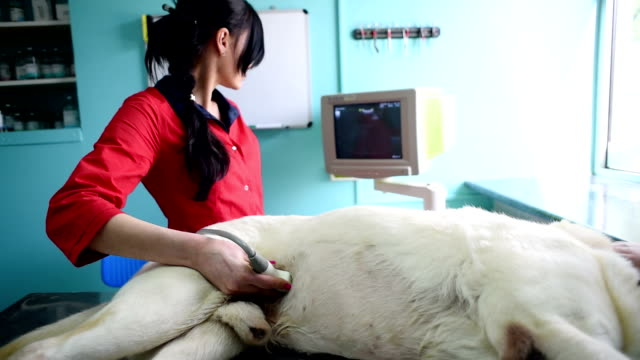Woman makes dog veterinal ultrasound in the clinic