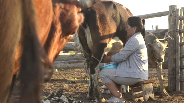 woman milking a cow inside a pen in rural mongolia - milking stock videos & royalty-free footage