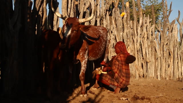 MS Woman milks cow in Himba village / Opuwo, Kunene, Namibia