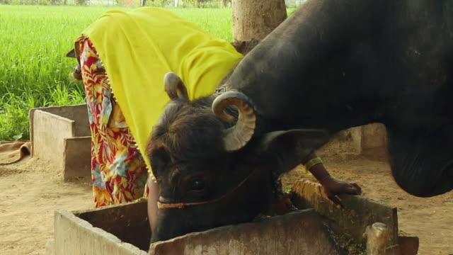 stockvideo's en b-roll-footage met ms woman mixing fodder to buffalos, farrukh nagar / gurgaon, haryana, india - alleen één mid volwassen vrouw