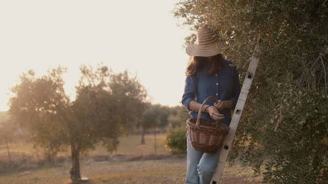 woman on ladder picking olives into basket - ladder stock videos & royalty-free footage