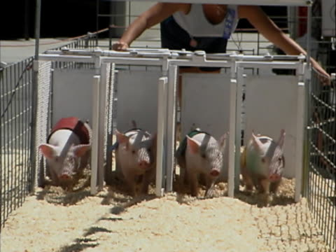 ms woman opening starting box at pig racing  - pig stock videos and b-roll footage