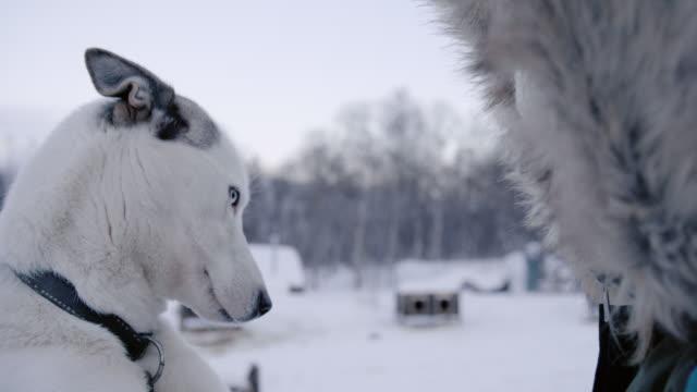 vídeos de stock, filmes e b-roll de slo mo mulher acariciando um husky - acariciando