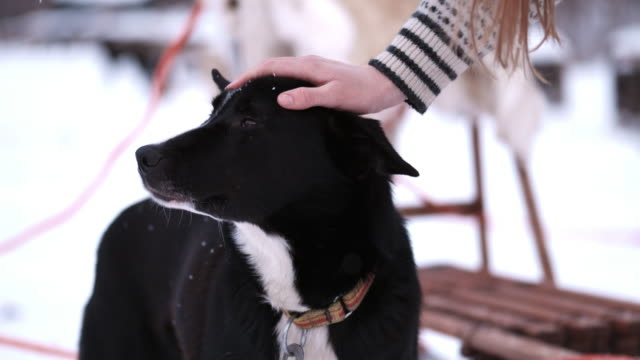 slo mo ls woman petting a sled dog - stroking stock videos & royalty-free footage