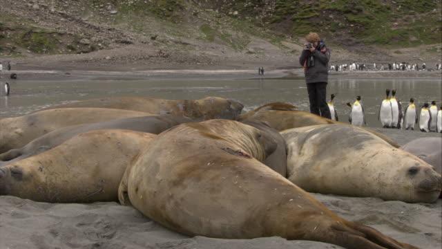 vídeos de stock e filmes b-roll de ms, woman photographing  elephant seals lying on ground, south georgia island - elefante marinho