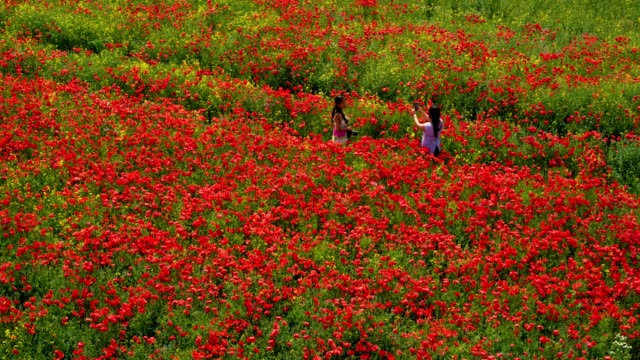 woman photographs in red poppy flowers & rapeseed plant staxton  north yorkshire  england - long hair stock videos & royalty-free footage