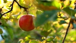 Woman Pick an Apple