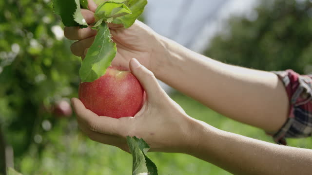 ds woman picking an apple from a tree - picking harvesting stock videos & royalty-free footage