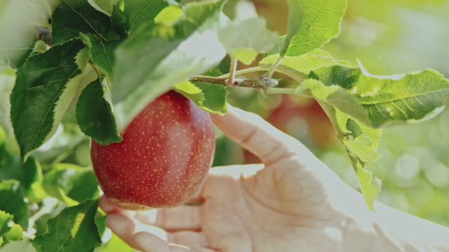 ds woman picking an apple from a tree - orchard stock videos & royalty-free footage