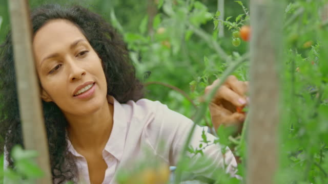 woman picking cherry tomatoes and putting them into a basket - cherry tomato stock videos & royalty-free footage