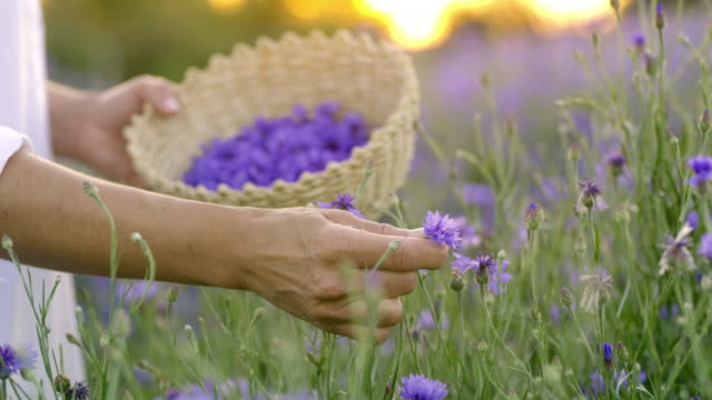 ms woman picking cornflowers at sunset - picking up stock videos & royalty-free footage