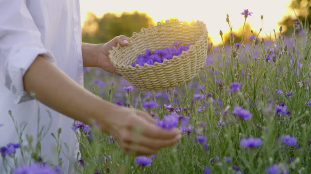 ms woman picking cornflowers - scegliere video stock e b–roll