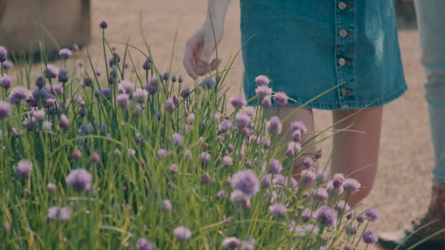 vídeos de stock e filmes b-roll de woman picking flower/herb/chive in garden - chipping norton england