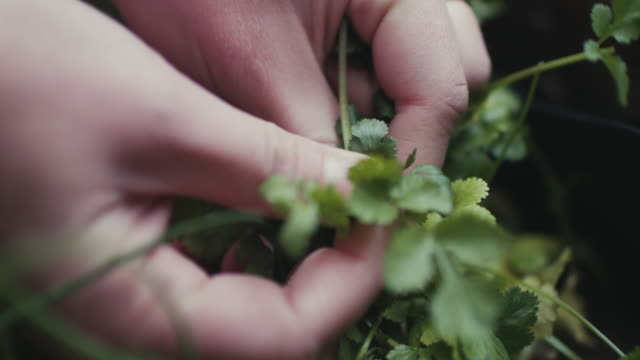 woman picking fresh herbs on patio at home in berlin, germany - kräuter stock-videos und b-roll-filmmaterial