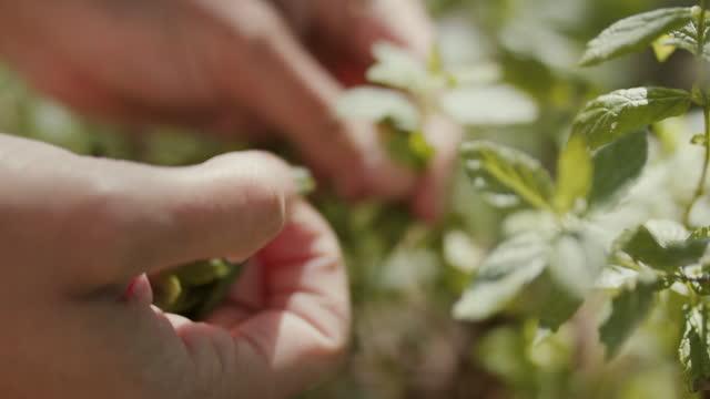 woman picking fresh mint - 有機農園点の映像素材/bロール