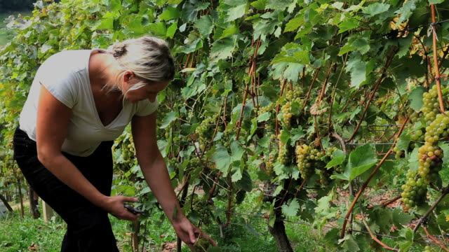 woman picking grape in vineyard - one mid adult woman only stock videos & royalty-free footage