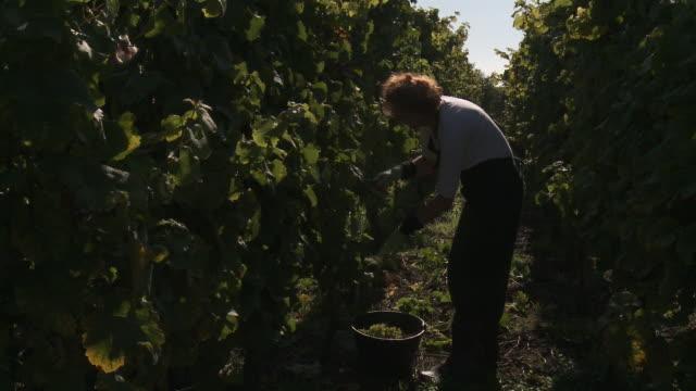 woman picking grapes. - solo una donna matura video stock e b–roll