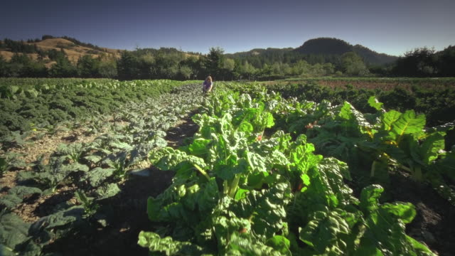 ms pov woman picking lettuce on organic farm / langlois, oregon, united states - kale stock videos and b-roll footage