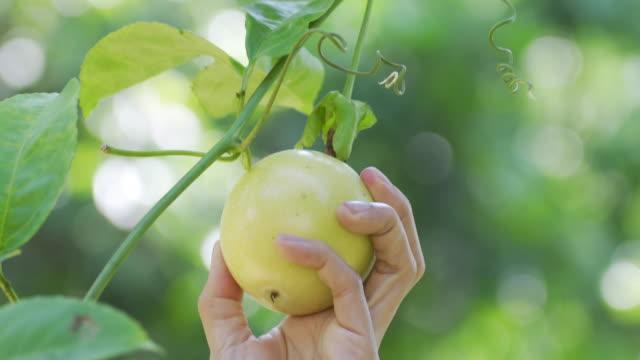 kvinna plocka passionsfrukt. - passionsfrukt bildbanksvideor och videomaterial från bakom kulisserna