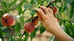 Woman Picking Peaches