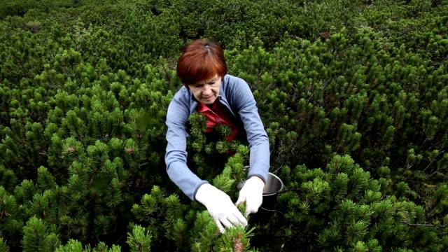 vídeos y material grabado en eventos de stock de woman picking pine cones of pinus mugo, san vigilio di marebbe, st. vigil, italy - piña de piñones