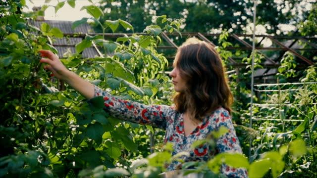 vídeos de stock, filmes e b-roll de framboesa de colheita de mulher na zona rural - pegando frutos