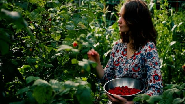 vídeos y material grabado en eventos de stock de frambuesa de picking de mujer en el campo - jardín formal