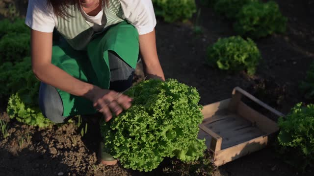 woman picking salad in a vegetable garden - only mid adult women stock videos & royalty-free footage
