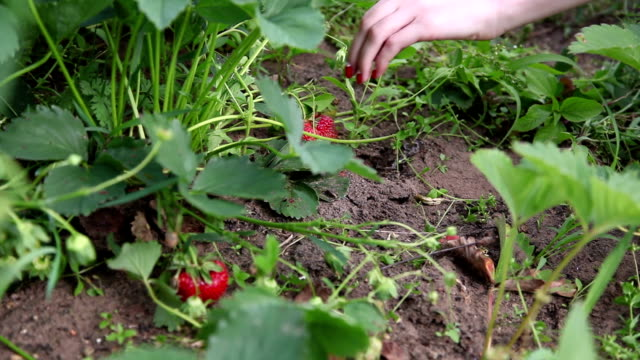 woman picking strawberries - red nail polish stock videos and b-roll footage