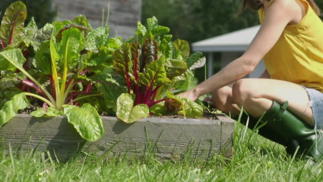 MS TU Woman picking Swiss chard in raised bed garden, Bovina Center, New York, USA