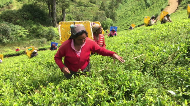 woman picking tea in sri lanka - sri lanka stock videos and b-roll footage