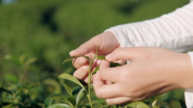woman picking tea leaf at chiang rai thailand - tè raccolto video stock e b–roll