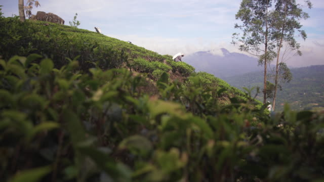 woman picking tea leaves at sri lanka plantation - sri lanka stock videos and b-roll footage