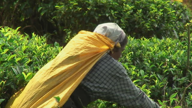 ms woman picking tea leaves from bush, ella, sri lanka - sri lankan culture stock videos & royalty-free footage