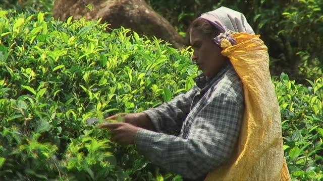 ms woman picking tea leaves from bush, ella, sri lanka - sri lankan culture stock videos & royalty-free footage