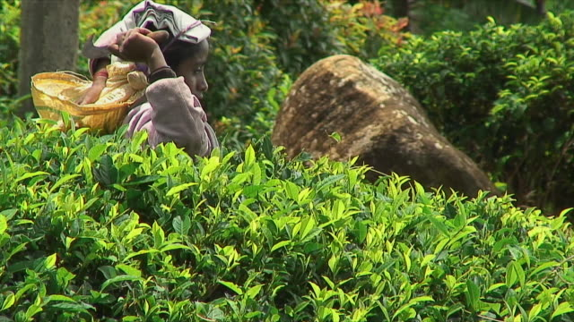ms swish pan woman picking tea leaves from bush, ella, sri lanka - swish pan stock videos & royalty-free footage