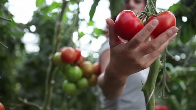 CU PAN R/F Woman picking tomatoes at organic farm / Brodowin, Brandenburg, Germany
