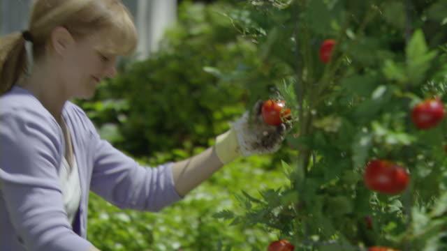 ms pan zi zo td tu woman picking tomatoes from  bush in vegetable garden, encino, california, usa - haarzopf stock-videos und b-roll-filmmaterial