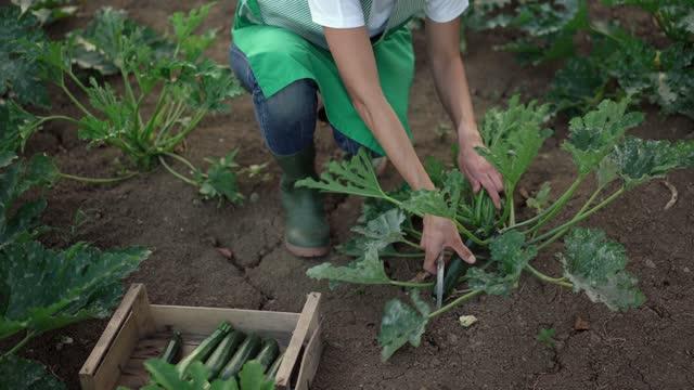 vidéos et rushes de woman picking zucchini in a vegetable garden - land