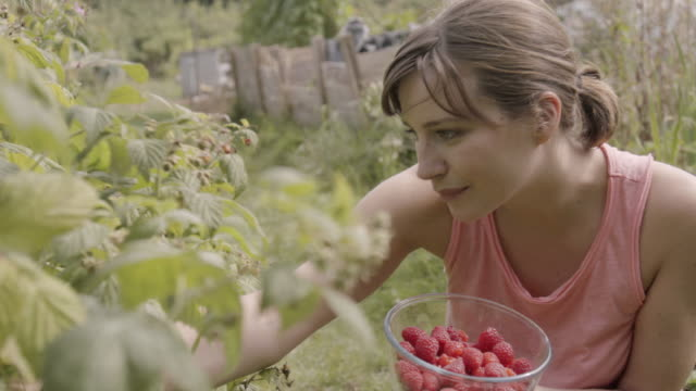 Woman picks raspberries and places them in bowl in allotment.