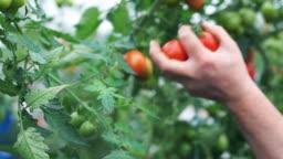 A woman picks ripe tomatoes