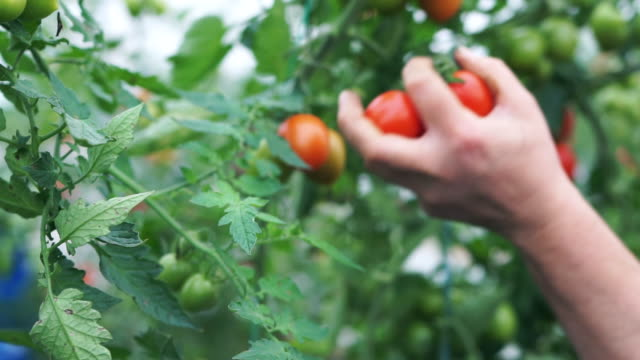 a woman picks ripe tomatoes - succulent stock videos & royalty-free footage