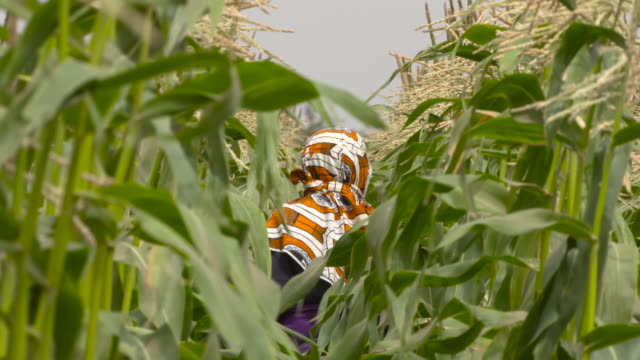 stockvideo's en b-roll-footage met woman picks sweetcorn during harvest, senegal - cereal plant