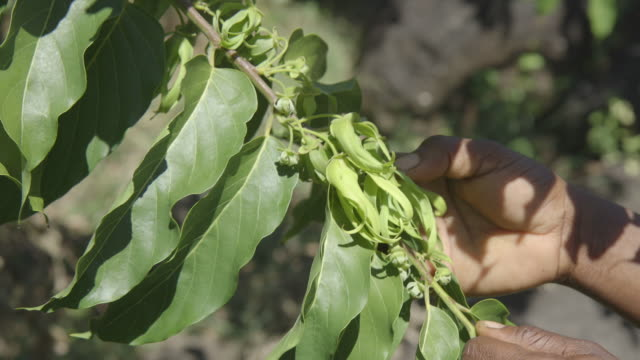 A woman picks ylang-ylang flowers from a Cananga Tree on the island of Anjouan.