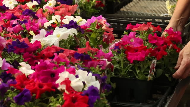 woman placing pots with flowers at lacoste garden centre winnipeg manitoba canada on thursday may 30 2019 - マニトバ州点の映像素材/bロール