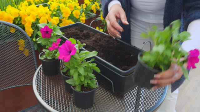 woman plant flowers into flower pot - pot plant stock videos & royalty-free footage