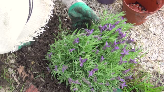 Woman planting a bush of lavender in the garden