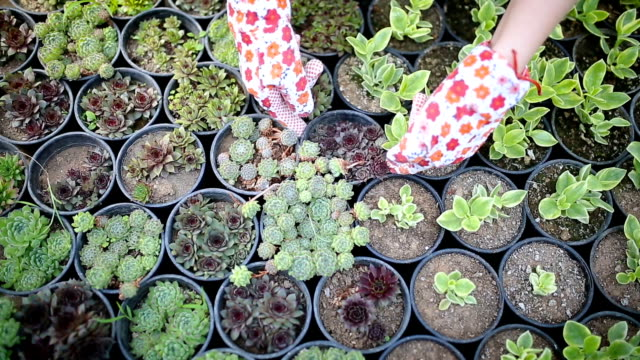 woman planting houseleek - succulent stock videos & royalty-free footage